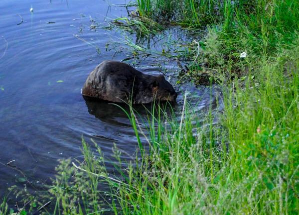 Beaver, Schwabachers Landing Wyoming