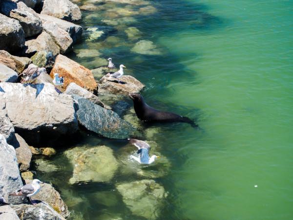 Californian Sea Lion, California