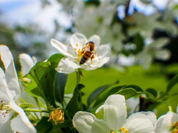 Bee, Niagara Falls