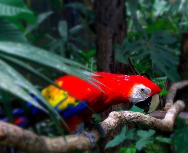 Scarlet Macaw, Mexico