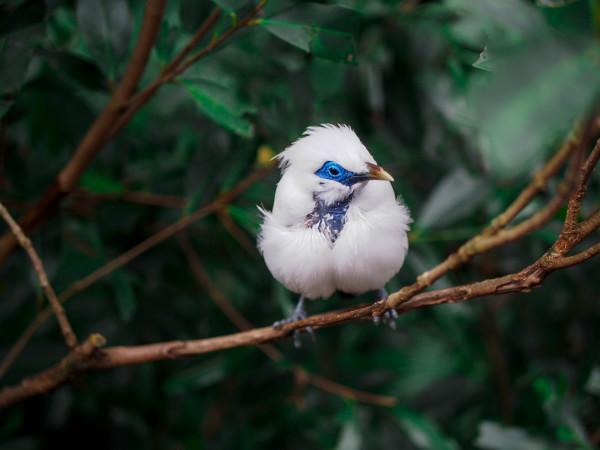 Myna Bird