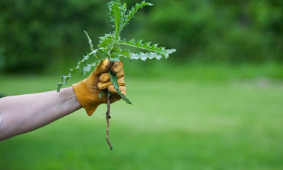 gloved gardener holding a weed