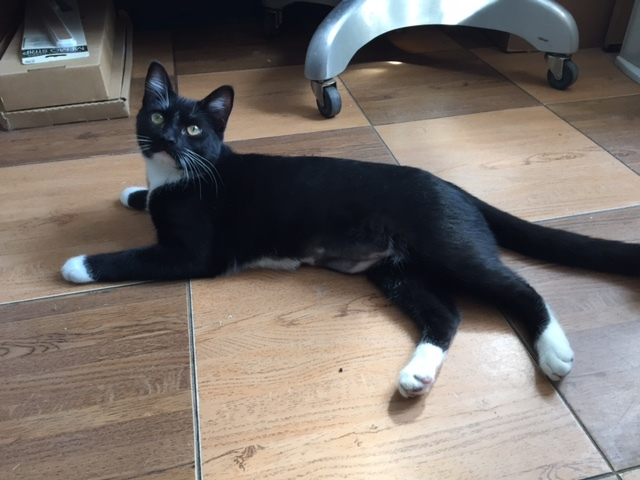 BOOGER-6 MONTH OLD DSH SPAYED FEMALE