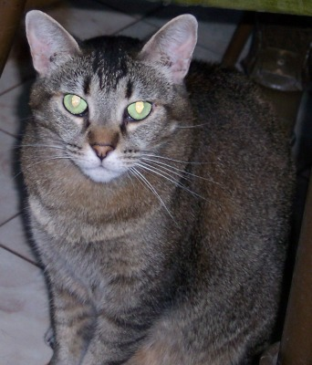 TIGGER - 15 YEAR OLD SPAYED FEMALE DSH