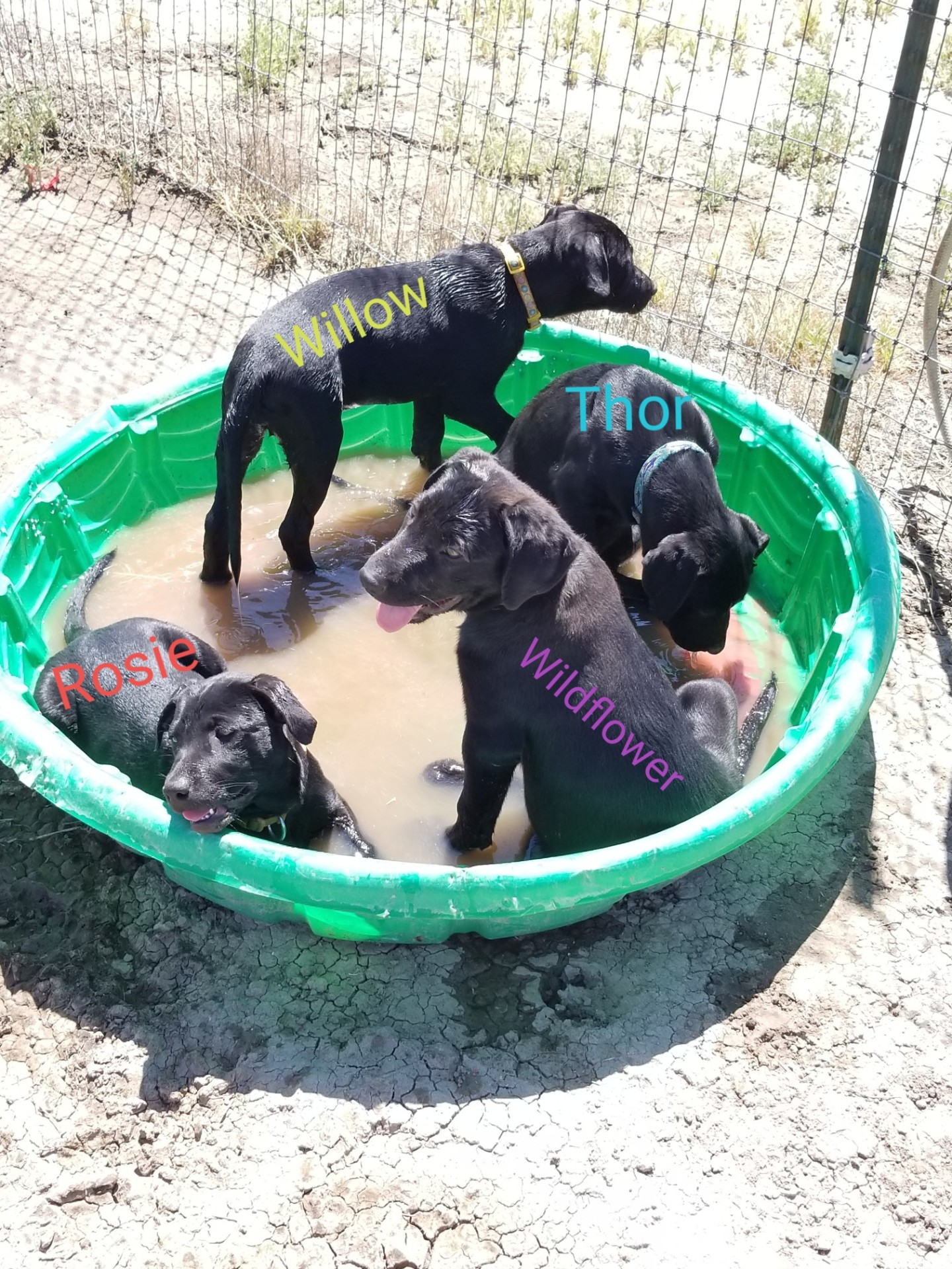13 week old Lab Puppies ready to Foster to Adopt