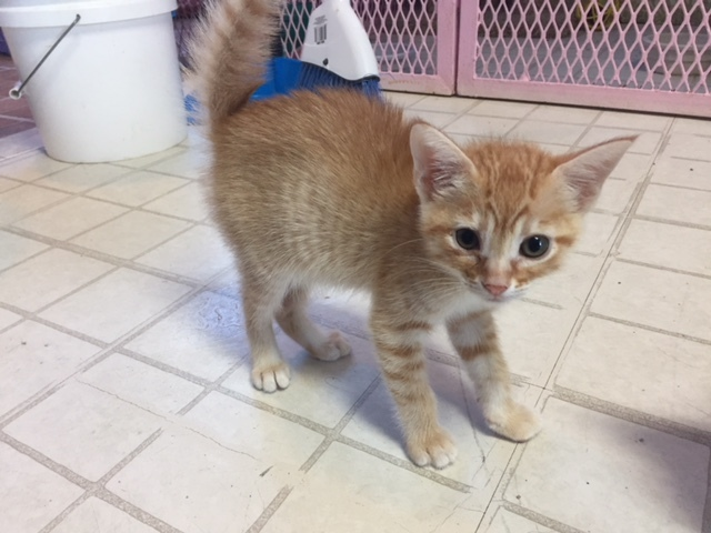 8 week old female orange tabby