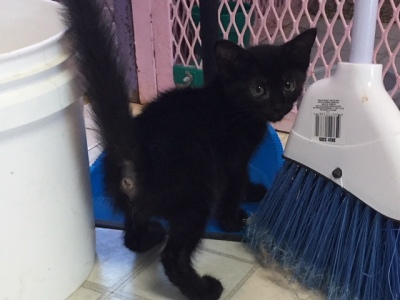 8 week old Male Black kitten