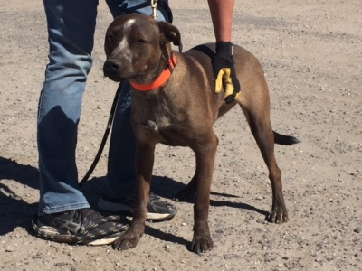 WLLOW - 8 MONTH OLD HEELER/PIT MIX, SPAYED FEMALE
