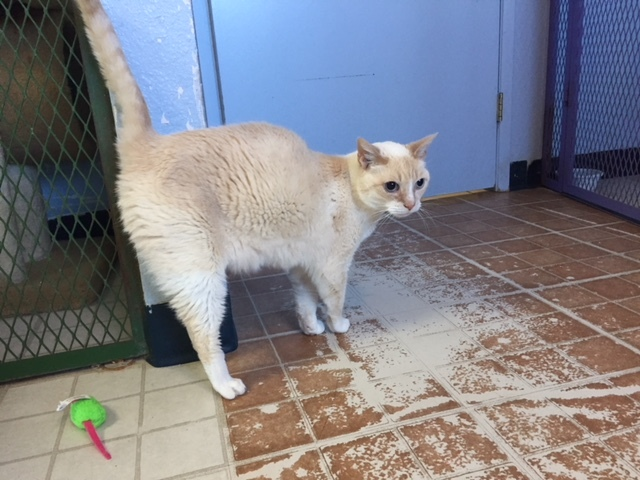 JERRY - 11 YEAR OLD FLAME POINT SIAMESE MIX NEUTERED MALE