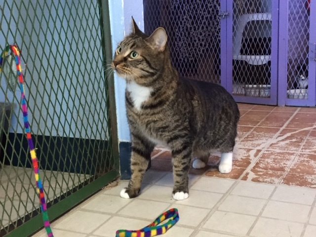 MORPHEUS - 4 YEAR OLD DSH NEUTERED MALE