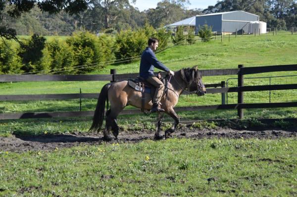 Beinn kaldy, highland pony, stallion, yellow dun