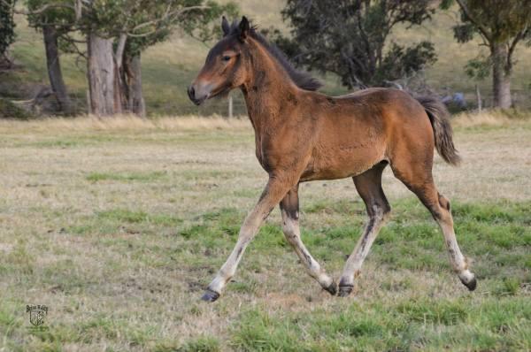 Beinn Kaldy, Highland Pony part bred, Highland pony x Anglo