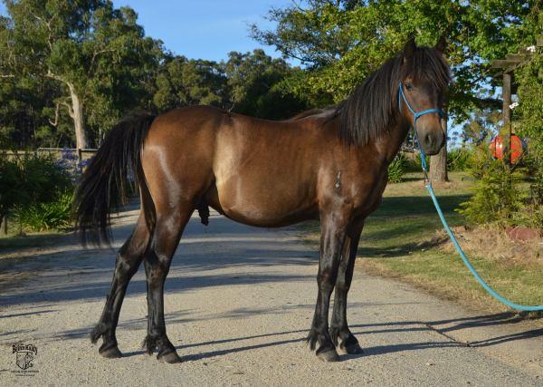 highland pony part bred, Highland pony x arabian pony