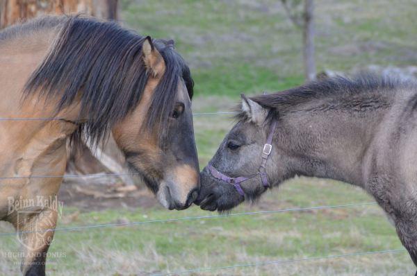 Beinn kaldy, highland pony, stallion, yellow dun, grey, colt, sire and son