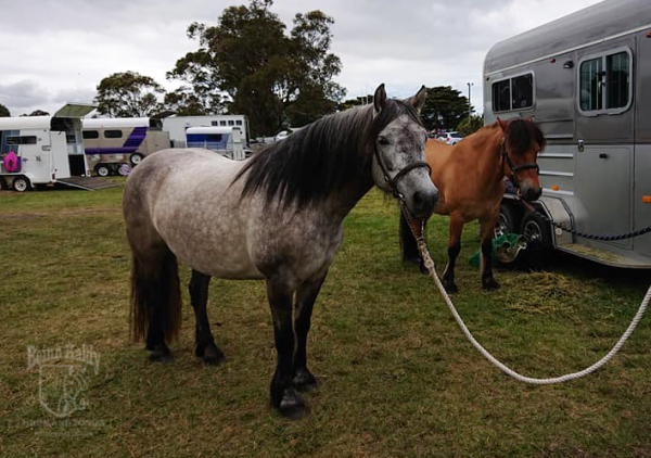 Highland Pony mare, grey dun, Beinn Kaldy, Tarabrae