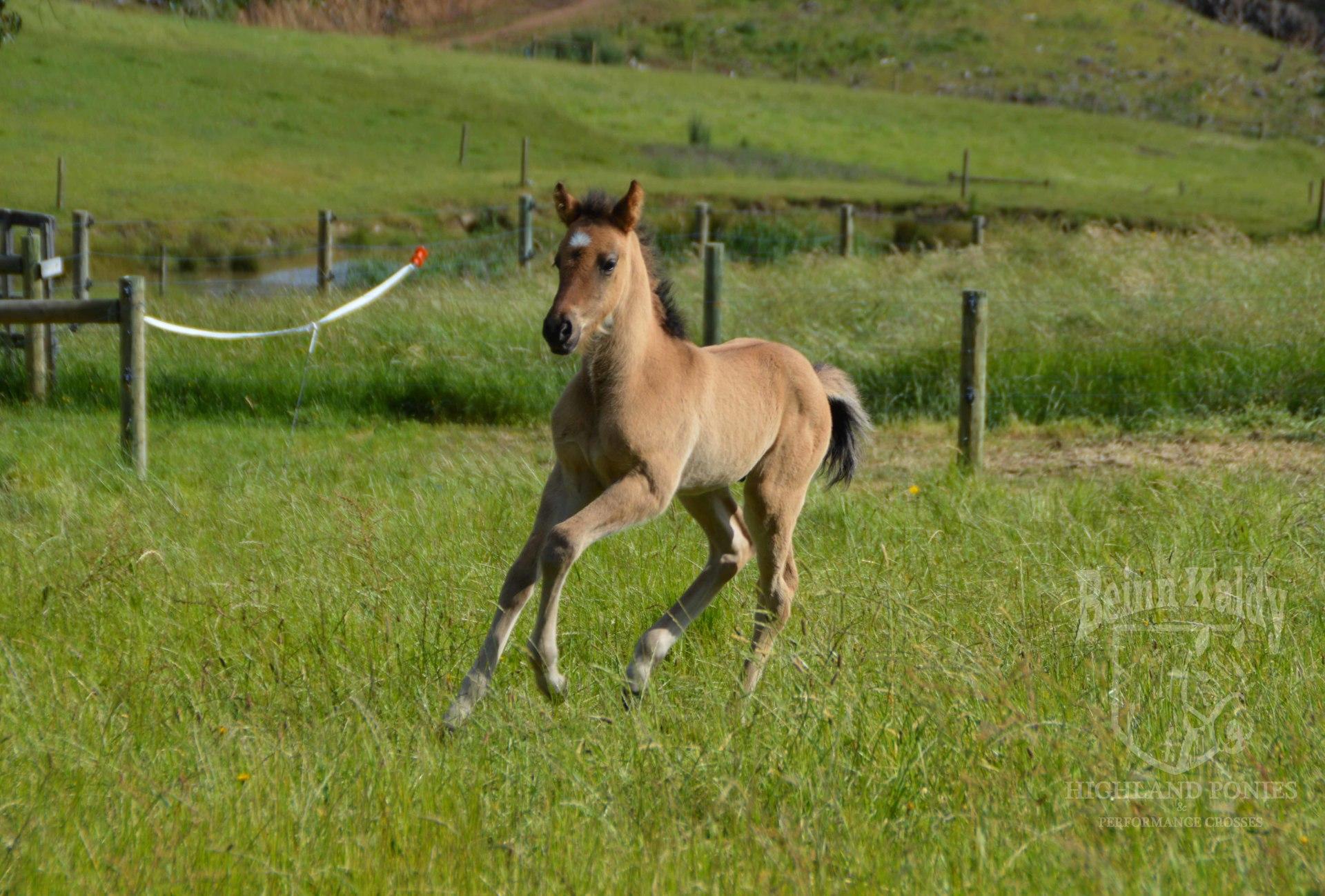 Beinn Kaldy, Highland Pony part bred, Highland Pony x TB, Yellow dun