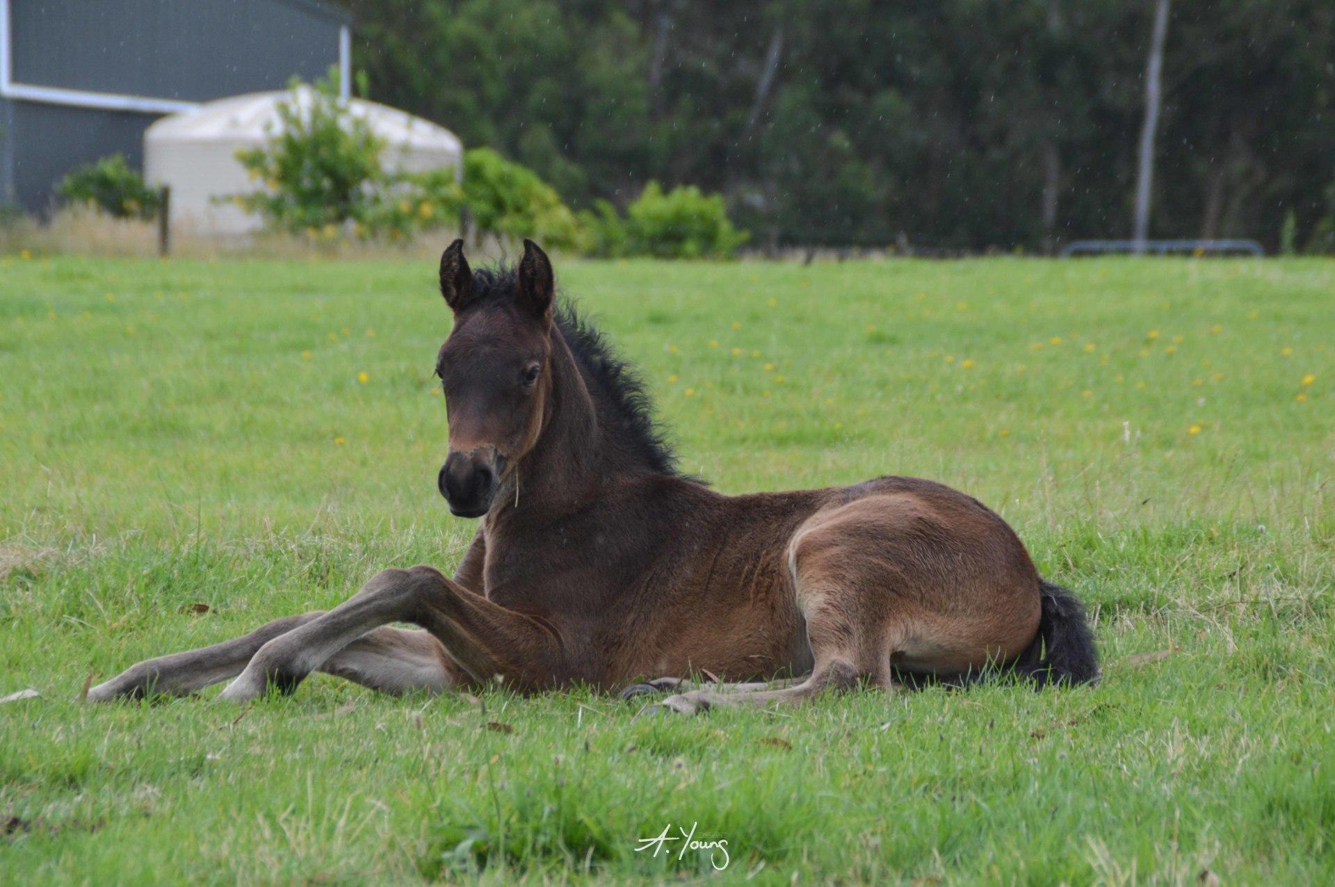 Beinn Kaldy, Arabian part bred, Highland Pony x Anglo