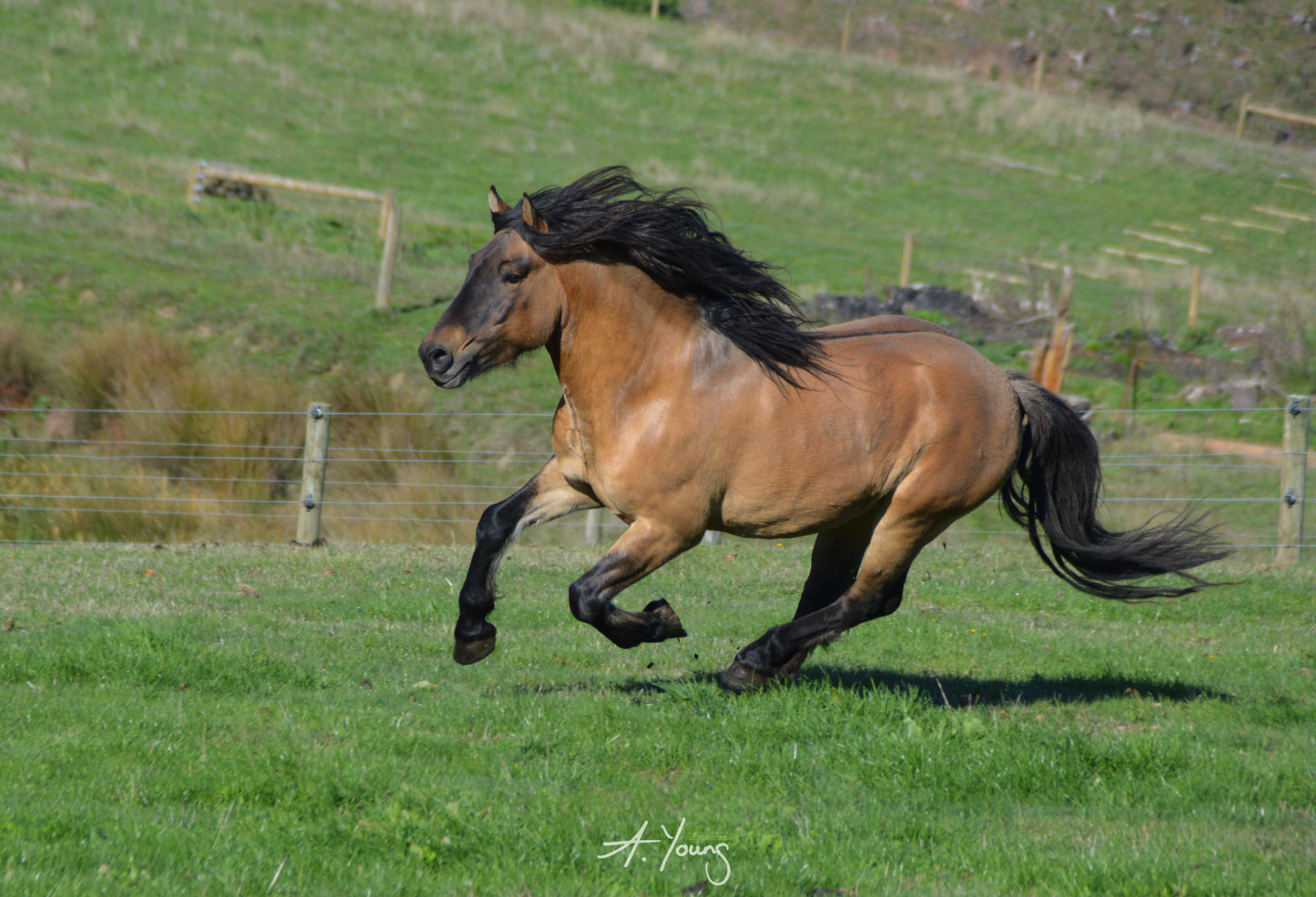 Beinn kaldy, highland pony, stallion, yellow dun, galloping