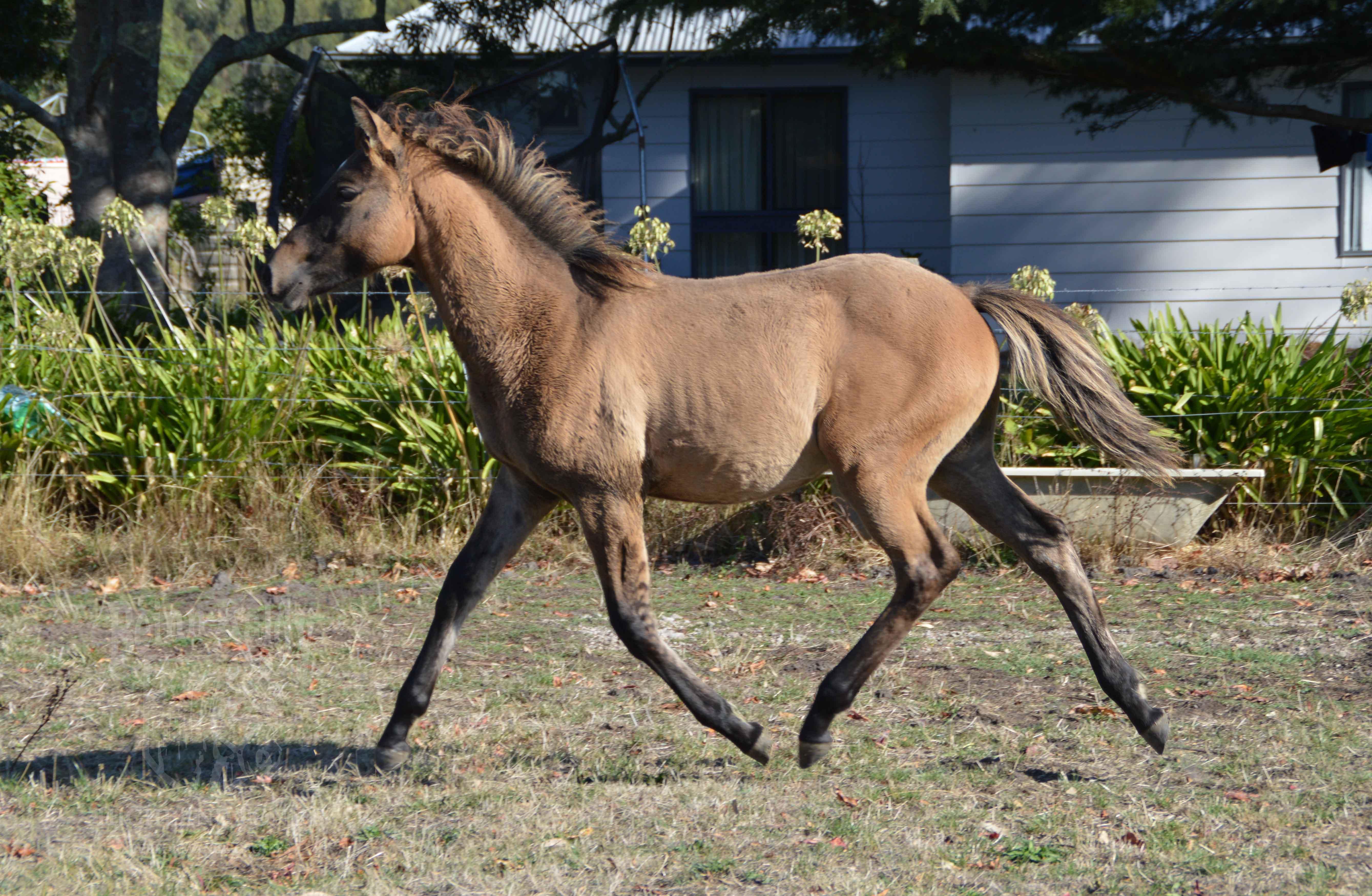 Highland Pony x TB, Highland Pony sports horse, yellow dun