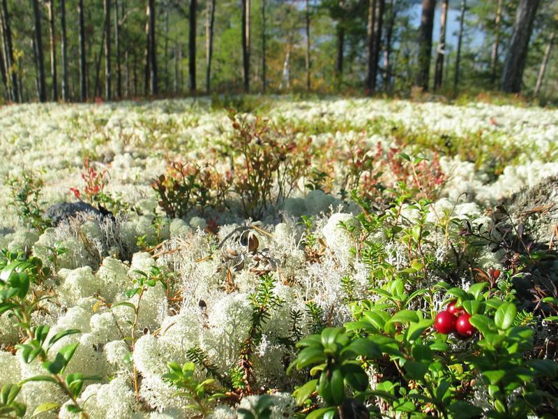 Ягель, красивый мох, по которому приятно ходить босиком