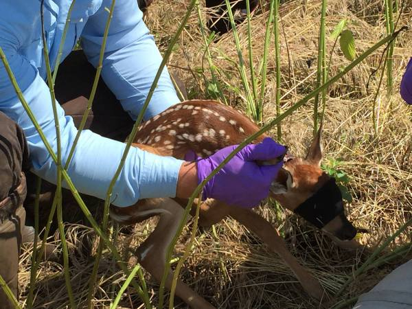 Fawn Count