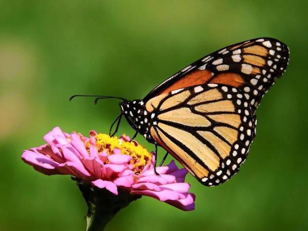 Support Monarch Migration
