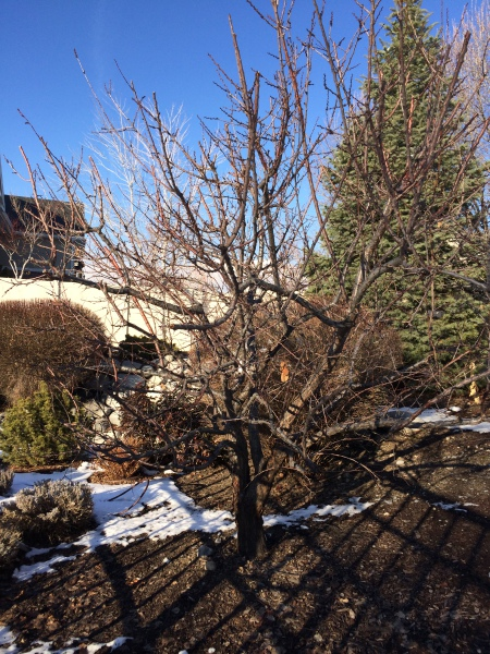 Prune fruit tree