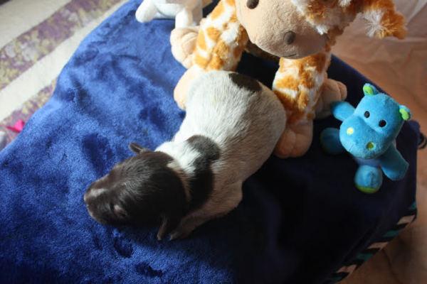 Male Puppy 3