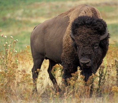 Charging the Storm: What the Buffalo Teaches Us