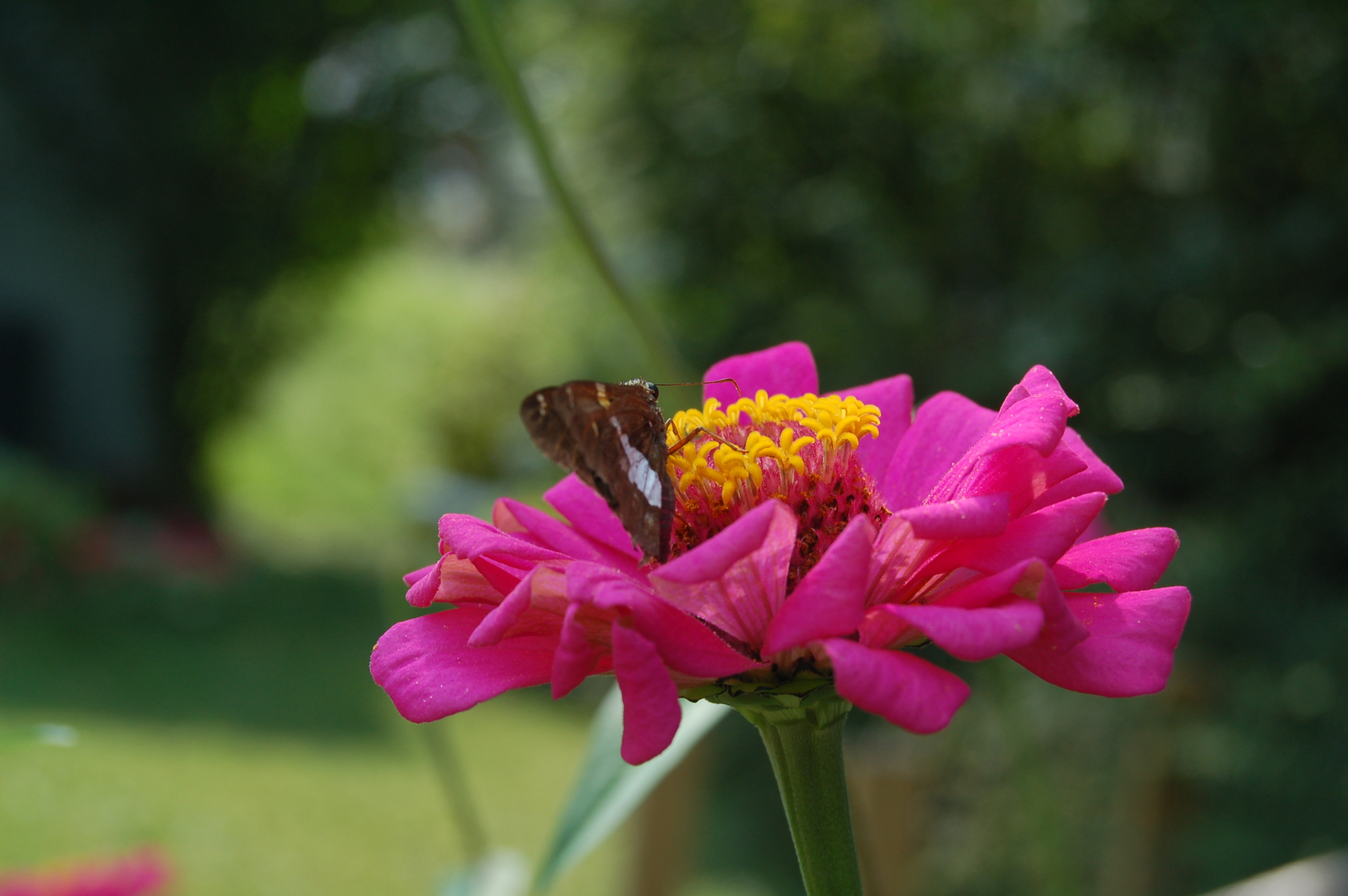 zinnia's from saved seed