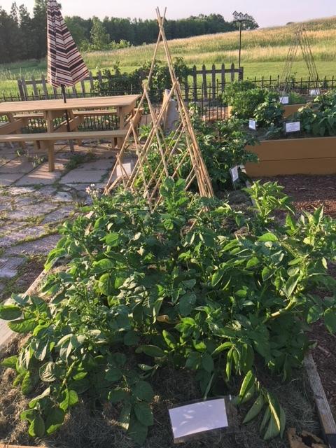 St. Mark's Raised Garden - 471 Pounds of Veggies Harvested!
