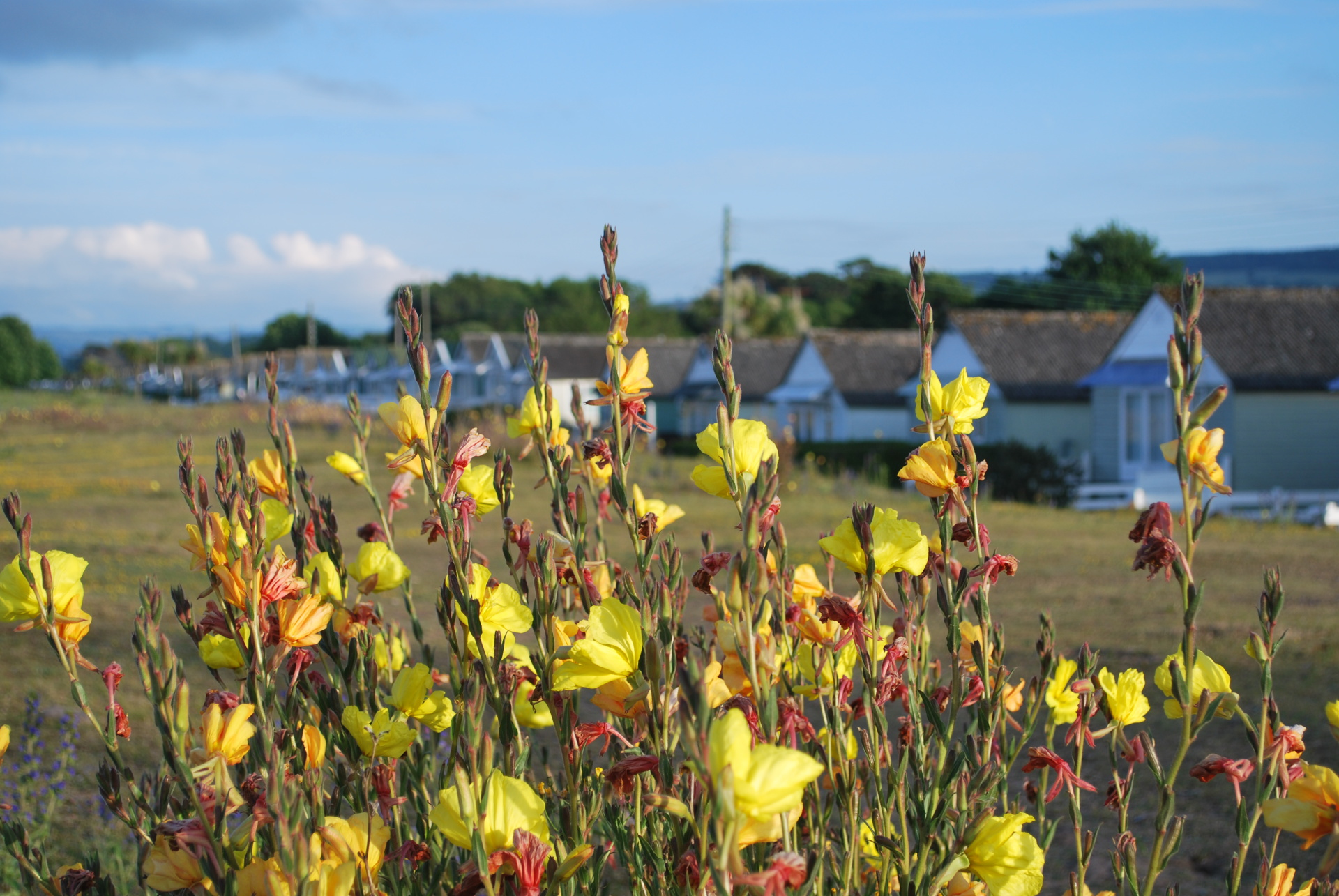 somerset, dunster, beach, hut, salad, days, wild, flower, dunes, evening, primrose
