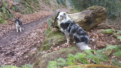 Maverick in Dunster Forest