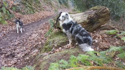 Maverick in Dunster Forest
