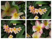 Flowers Pretty Pink White Frangapanis