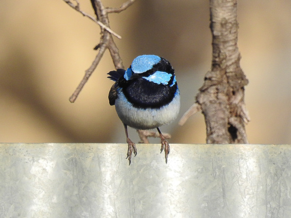 Wonderful birdlife - A Fairy Wren