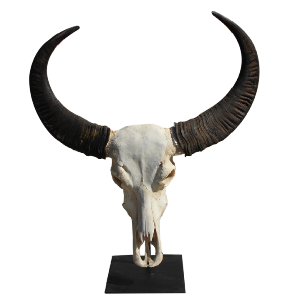 real buffalo skull on a stand