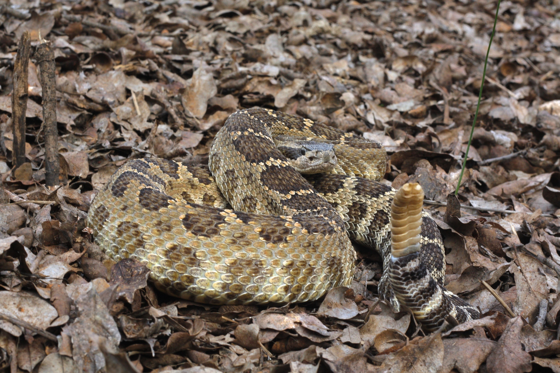 Northern Pacific Rattlesnake Crotalus oreganus oreganus Diabla