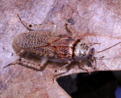 balta notulata small spotted cockroach