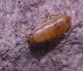 compsodes schwarzi hooded cockroach