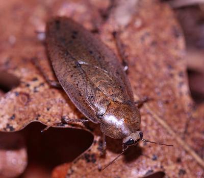 epilampra maya cockroach
