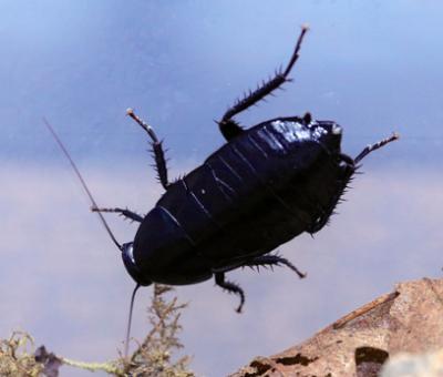 eurycotis lixa hustler roach