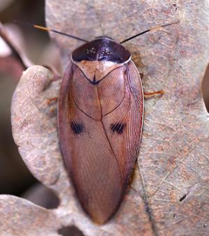 gyna capucina pink roach