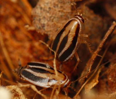 luridiblatta phyllodromica trivittata 3-lined cockroach