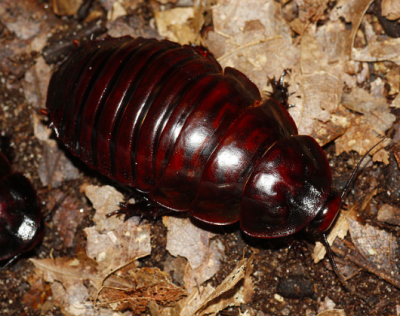 macropanesthia rhinoceros rhino giant burrowing roach