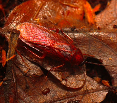 parcoblatta americana american wood roach