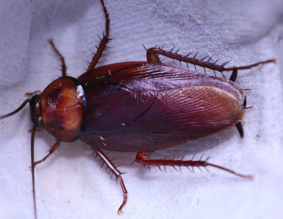 periplaneta brunnea brown roach