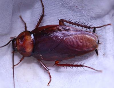 periplaneta brunnea brown roach