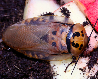 eublaberus distanti 6-spotted cockroach