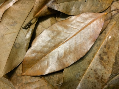 magnolia leaves for sale